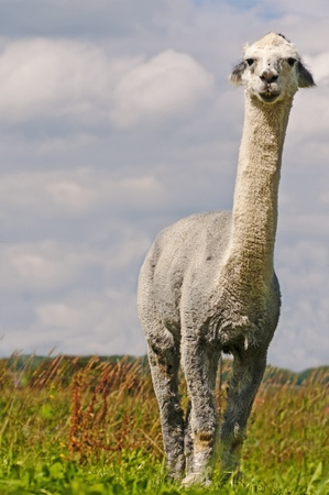 Alpaca, Vicuna pacos photo