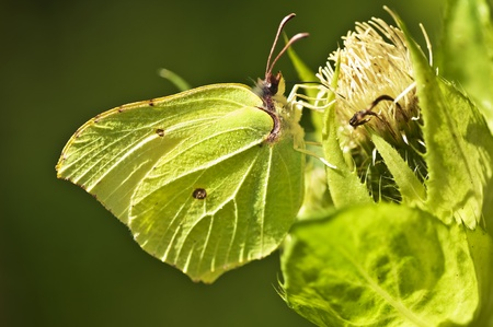 gonepteryx: brimstone butterfly, Gonepteryx rhamni
