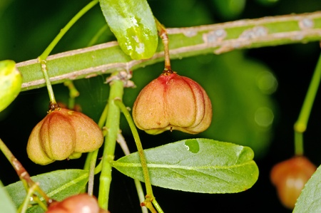 fruit of European spindle tree photo