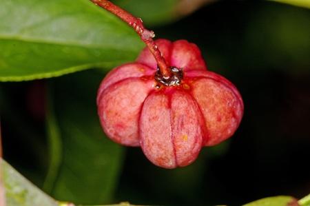 fruit of European spindle tree Stock Photo - 10400335
