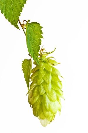 lupulus: hops