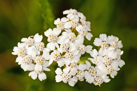 yarrow: common yarrow, Achillea millefolium