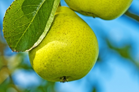 perry: perry-pear Stock Photo