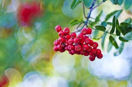 rowan-berry photo
