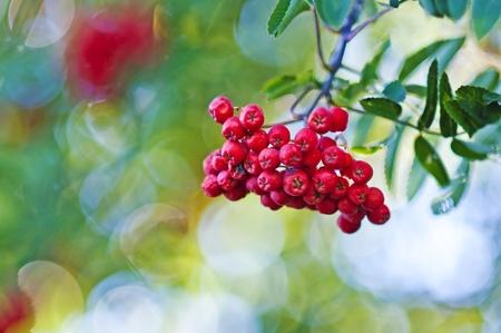 rowanberry: rowan-berry