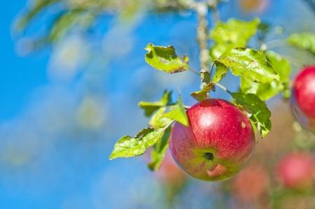 manzana en un árbol Foto de archivo
