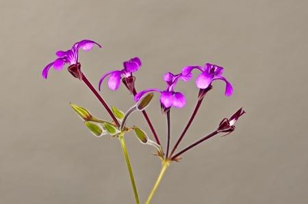 pelargonium: Umckaloabo, herbal medicine of Africa, Pelargonium spec.