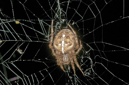 garden spider, Araneus diadematus Stock Photo - 10734899