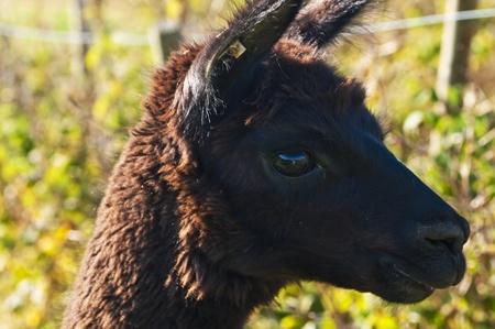 Alpaca Stock Photo - 10766920