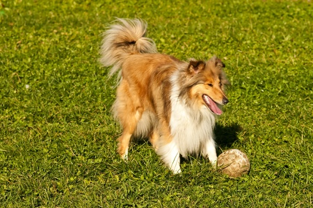true bred:  Collie with ball