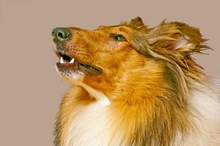 scottish collie: Collie dog