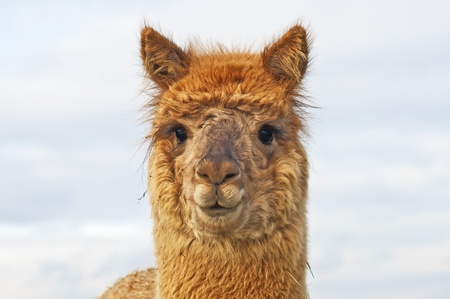 Alpaca Stock Photo - 12597065