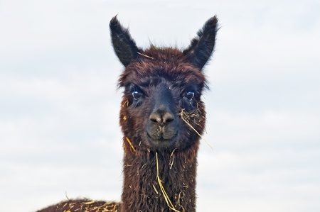 Alpaca Stock Photo - 12597063