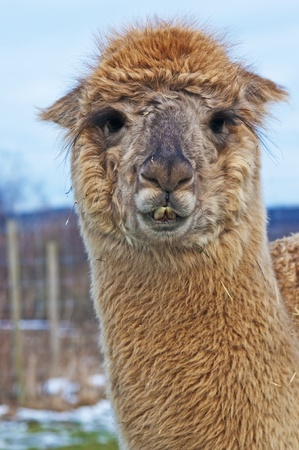 Alpaca Stock Photo - 12598073