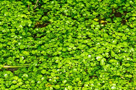 water cress, Nasturtium officinale Stock Photo - 12598465