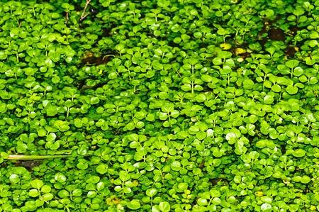 water cress, Nasturtium officinale Stock Photo - 12598465