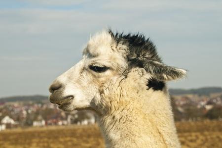 Alpaca, Vicugna pacos Stock Photo - 12598487