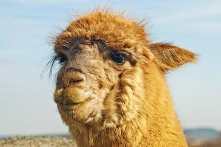 Alpaca Stock Photo - 12847270