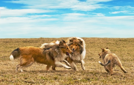 running collie dogs photo