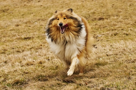 true bred:  Collie running Stock Photo