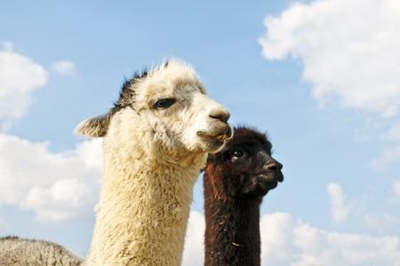 Alpaca, Vicugna pacos Stock Photo - 12847927