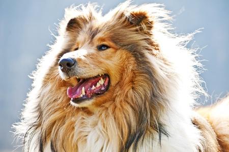 puppydog: collie