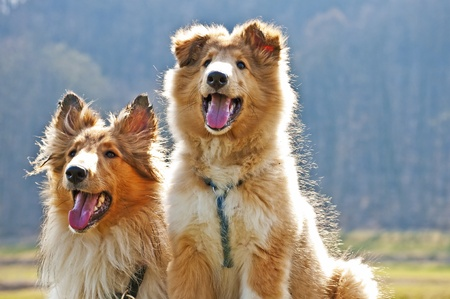 longhaired: American collie dogs Stock Photo