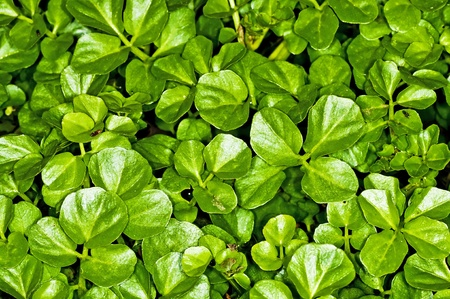 water cress, Nasturtium officinale Stock Photo - 12950888