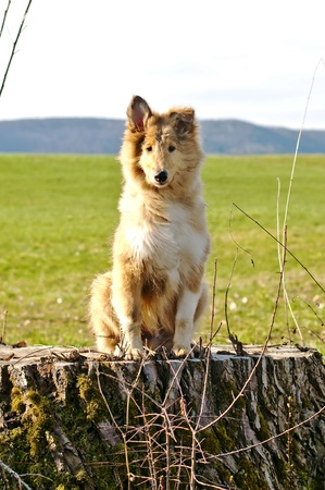 pure bred: collie whelp