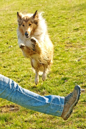 true bred:  collie dog jumps over leg Stock Photo