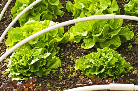 salad cultivation photo