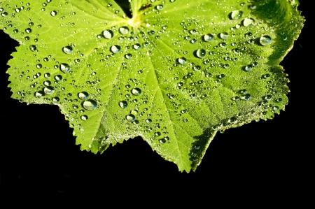 lady s: lady s mantle with dew drops Stock Photo