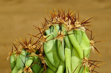 cactus with thorns Stock Photo - 13826472