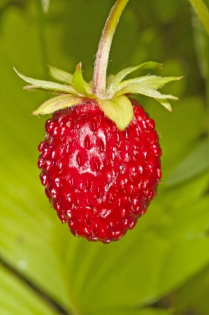 woodland strawberry photo