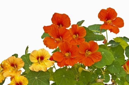 abbeys: nasturtium medicine and salad of the abbeys