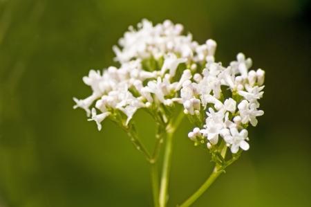Valerian, medicine plant