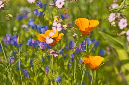 californian: meadow with Californian poppy Stock Photo