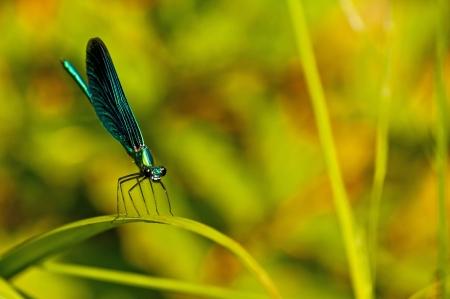 damselfly: beautiful demoiselle, Calopteryx virgo