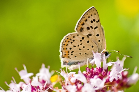 common blue,  Polyommatus icarus Stock Photo - 14438159