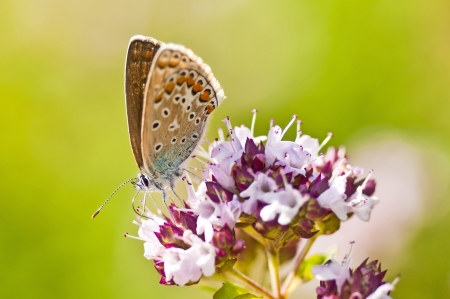 polyommatus icarus: common blue,  Polyommatus icarus