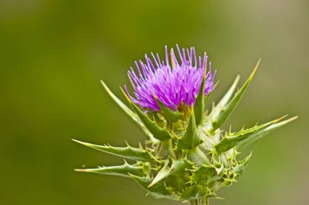 holy thistle