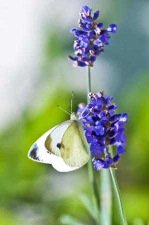pieris: Green-veined White, Pieris napi on lavender