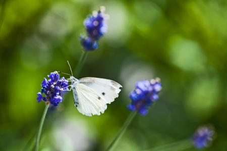 Large White, on lavender photo