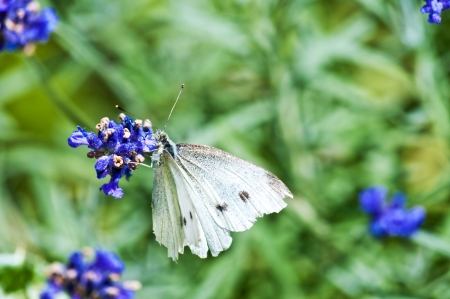 Large White, on lavender Stock Photo - 14558250