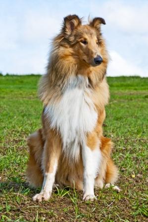scottish collie: collie dog Stock Photo