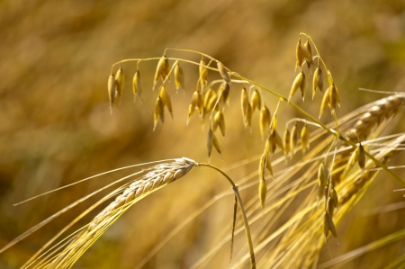 barley and oat Stock Photo - 14662113