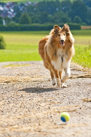 true bred: Collie dog