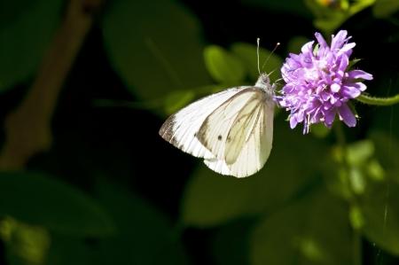 pieris: Small white, Pieris rapae Stock Photo