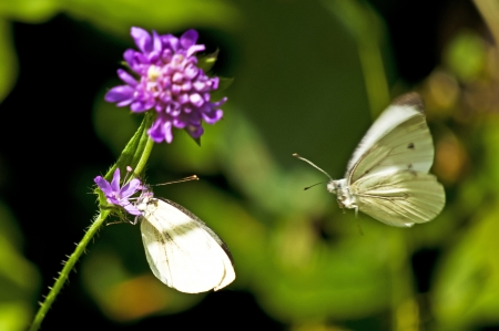reproduction: Green-veined white flying to reproduction