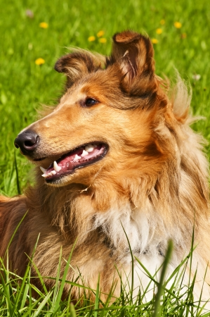 Collie dog photo